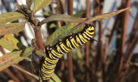More Year-round Monarchs than Migrants