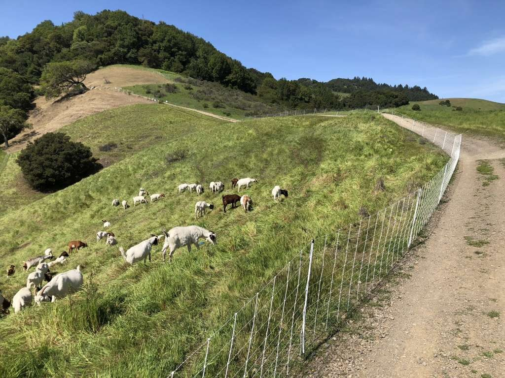 goats grazing to prevent fire
